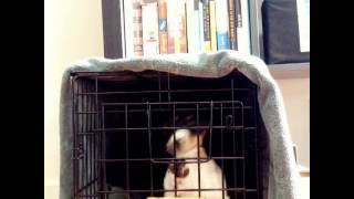 Smart Dachshund Puppy Escapes From Crate
