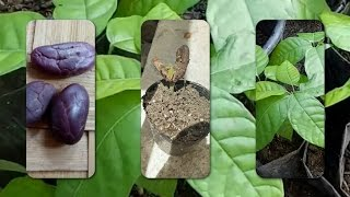 Easy Way of Growing Cocoa (Chocolate Tree) From Seeds