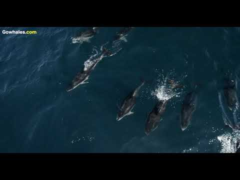 Over 1,500 Dolphins Snout-Ride on Mom/Calf Humpback Whales in Monterey Bay