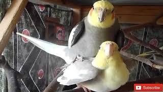 تحفيز طيور الكوكتيل على التزاوج بعد سماع هذا المقطع بإذن الله