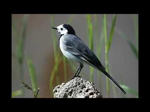Uccelli - Ballerina Bianca - Canto degli Uccelli