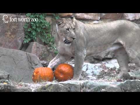 Fort Worth Zoo lions receive Halloween treats
