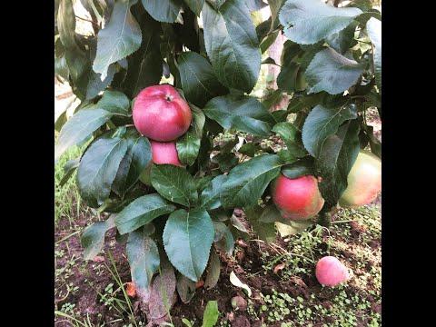 Вопрос: Можно ли привить к груше яблоню и как это сделать?