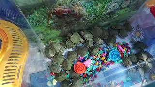 Соль-Илецк!!! Маленькие черепашки! Красноухие черепашки! Август 2018год.