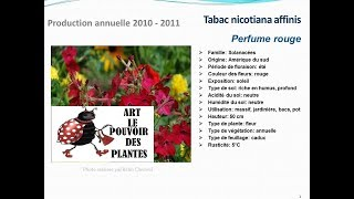 Tabac nicotiana affinis Perfume rouge: plante annuelle
