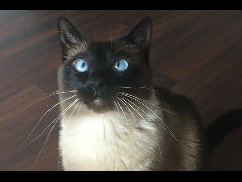 (В) Кот это мохнатый будильник =^..^= СИАМСКИЕ КОШКИ