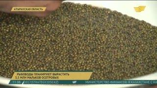 Рыбоводы в Атырауской области планируют вырастить 3,5 миллиона мальков осетровых(, 2016-04-27T05:48:34.000Z)
