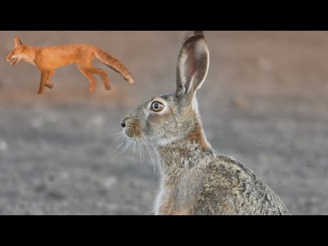 Заяц заметил лису и побежал ей навстречу / The hare notice the fox and ran towards it