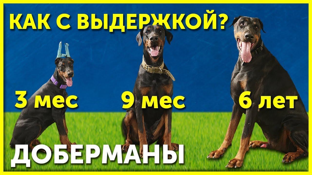 Выдержка с доберманом в разном возрасте | Как научить собаку выдержке | Три Добермана
