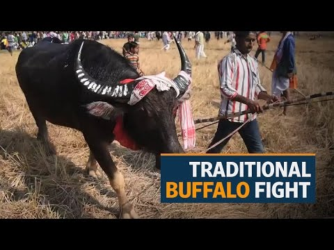 Traditional buffalo fight takes place in India, despite the Supreme Court ban