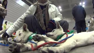 ペット博で見かけたホワイトシェパードの子犬です。生後三ヶ月だそうで...