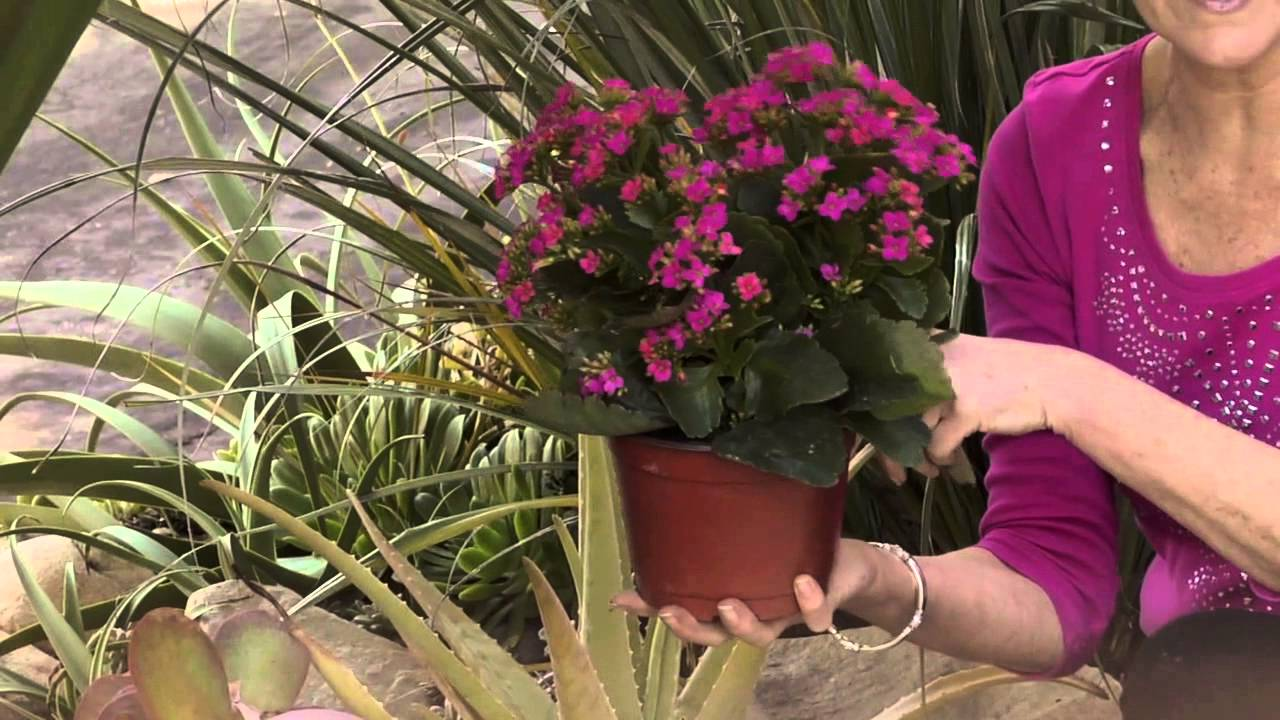 Gardening Care for Kalanchoe : Gardening Advice - YouTube on taking care of begonias, taking care of wisteria, taking care of fuchsia, taking care of bromeliads, taking care of primrose, taking care of succulents, taking care of hydrangea, taking care of ferns, taking care of amaryllis, taking care of peace lily, taking care of asparagus, taking care of aloe, taking care of poinsettia, taking care of pansy, taking care of ivy, taking care of iris, taking care of phlox, taking care of clematis, taking care of orchids, taking care of philodendron,