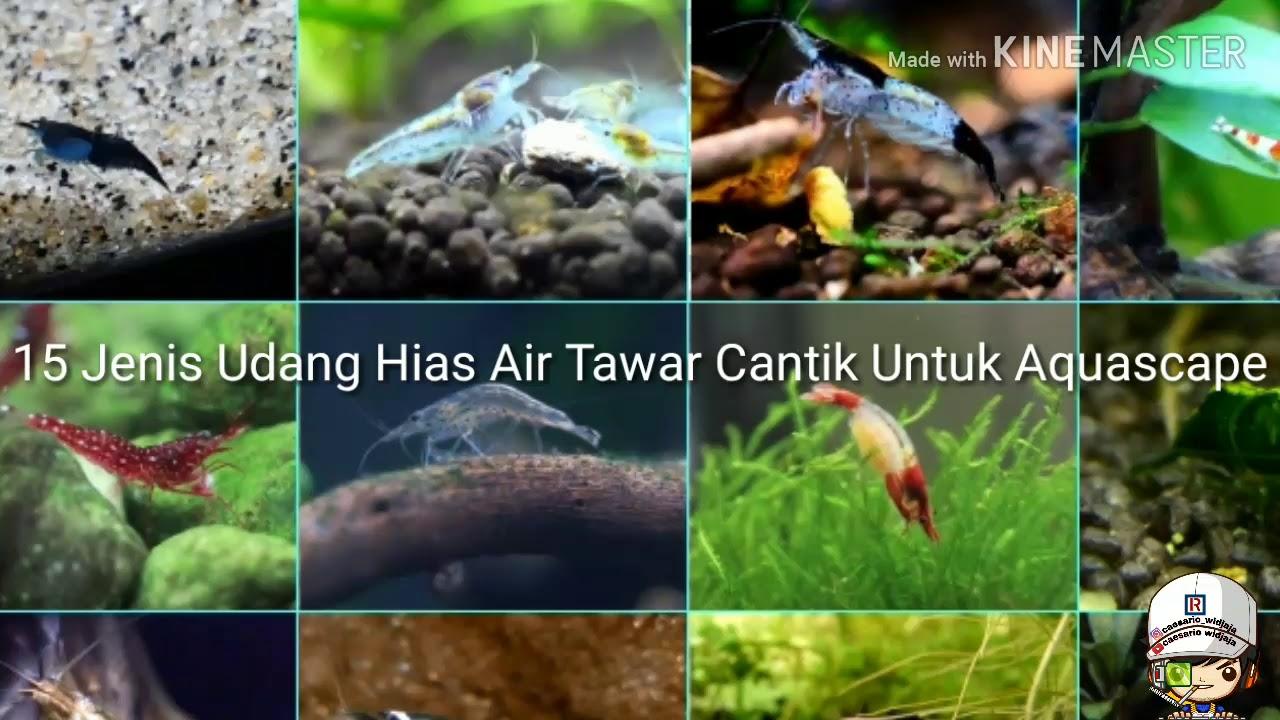 15 Jenis Udang Hias Air Tawar Cantik Untuk Aquascape Youtube