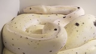 Reticulated Python Gestation to Eggs