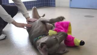Goku A 4-year-old Weimaraner Mix Available For Adoption At The Wisconsin Humane Society