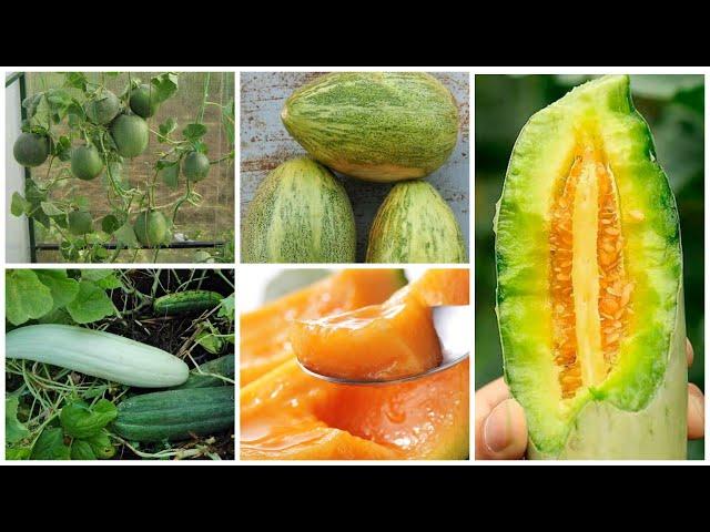 Огурдыни – овощ и фрукт. Два в одном! Обзор новых сортов.