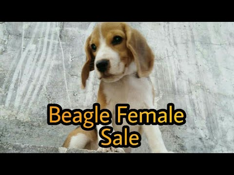 BEAGLE PUPPY FOR SALE