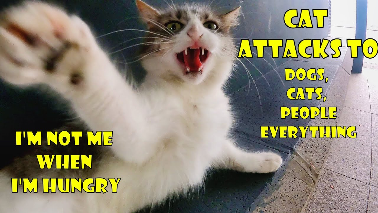 Gorgeous grey cat attacks everything that comes across it. Cat attacks to dog, cat and people.