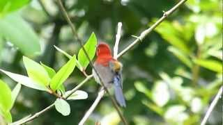 Crimson Sunbird in mating display & song