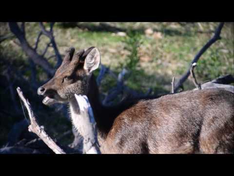 Rusa Deer Rut Illawarra 2016