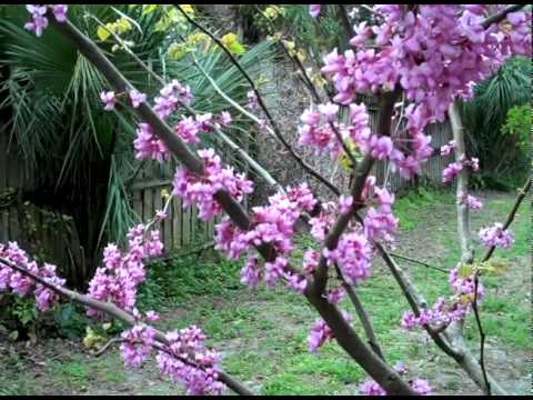 Eat The Weeds Video 126 The Eastern Redbud Youtube