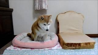 朝の柴犬ひかり(15才11ヵ月)の起床風景。ぽよーっとしていて、とても...
