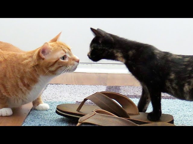 Introducing Cats to New Kittens for the First Time