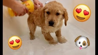 Sammie's Very First Bath! 7 Week Old Golden Retriever Puppy! Sammie vs Bunny Surprise Playtime