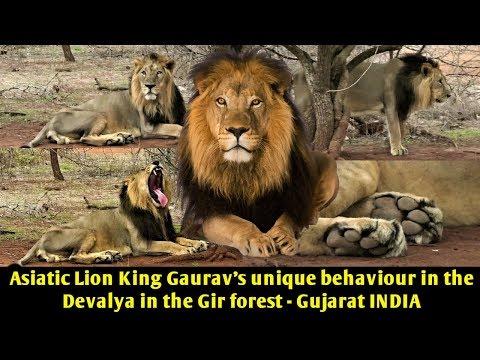 Asiatic Lion King Gaurav's unique behaviour in the Devalya in the Gir forest   Gujarat