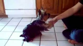 Kira Silky Terrier Puppy goes through her tricks