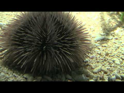 A Sea Urchin Takes A Stroll