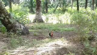 Video Pikat ayam hutan 2017..si karen..4. download MP3, 3GP, MP4, WEBM, AVI, FLV Desember 2017