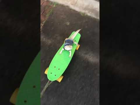 Toothless the bearded dragon skateboarding