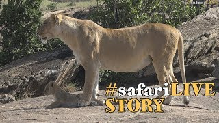 Lion Prides of the Mara thumbnail