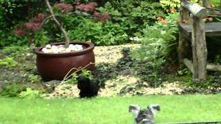 Schnauzer puppies @ 5 weeks Potty training
