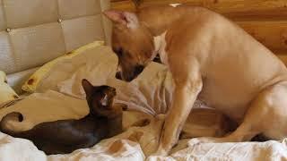 Амстафф и Абиссинская кошка. Вивьен и Джесс. Питомник GaidJewel's