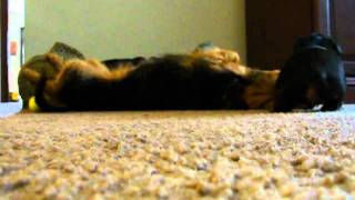 Playing W/mommy - Dachshund - Yorkshire Terrier Mix - 9.30.10