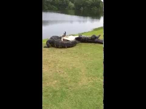 Thumbnail: Gator fight on golf course