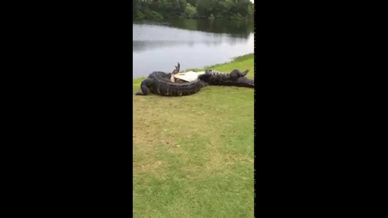 Gator fight on golf course youtube for How to find a good builder in your area