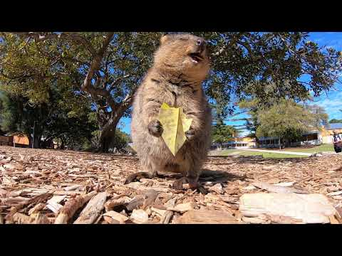 Want to see a quokka eat a leaf?