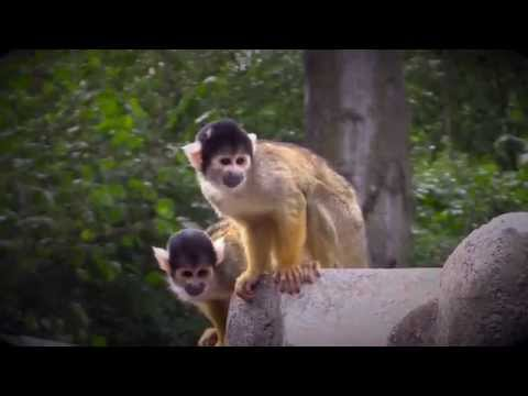 Black-capped Squirrel Monkeys - London Zoo