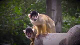 Black-capped Squirrel Monkeys - London Zoo