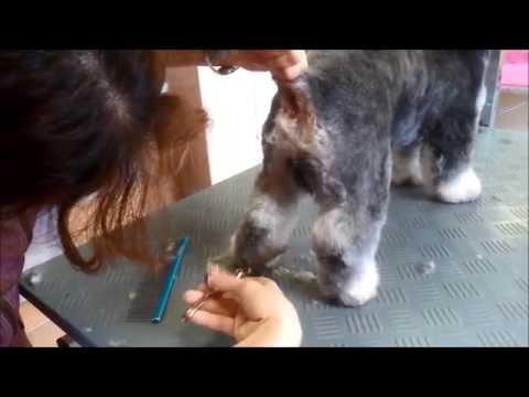 Havanese pet grooming by Rita Szakács