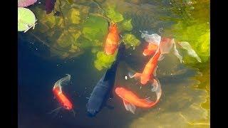 Рыбки в пруду и аквариуме / РЕЛАКС