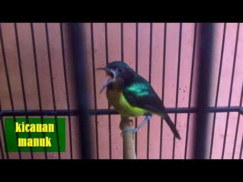 kolibri WULUNG tembakan kenari super yang ngerol dan gacor