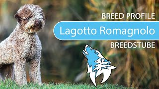 Lagotto Romagnolo [2020] Breed, Temperament & Training