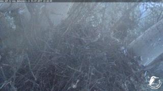 LDF Vistu vanags tiešraide / Northern goshawk webcam