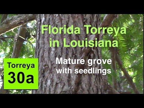 Florida Torreya In Louisiana - Mature Grove With Seedlings (2018)