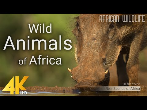 4K African Wildlife – Wild Animals of Africa – Real Sounds of Africa – 10 bit color