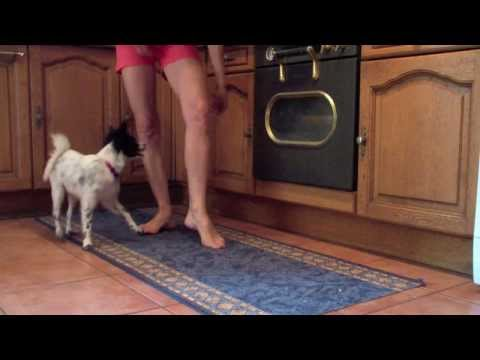 25 easy indoor tricks to teach your dog  ( papillon puppy tricks )